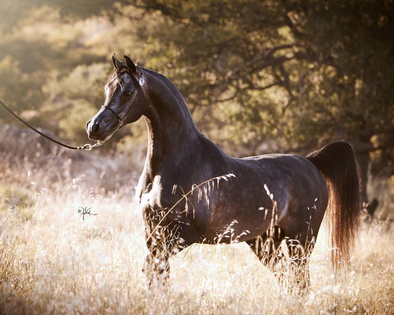 El Chall Wr North Arabians